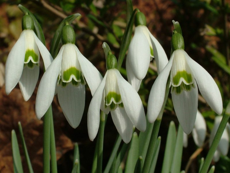 Snowdrops - February in the garden